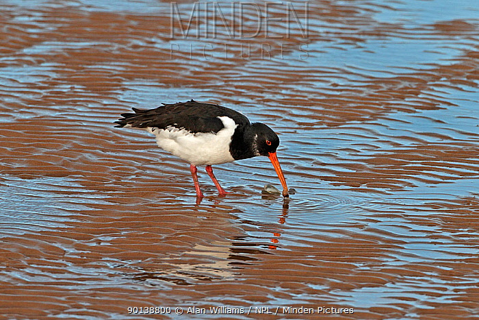 Oystercatcher (Haematopus ostralegus) feeding on shellfish in shallow coastal water, Liverpool Bay, UK, November  -  Alan Williams/ npl