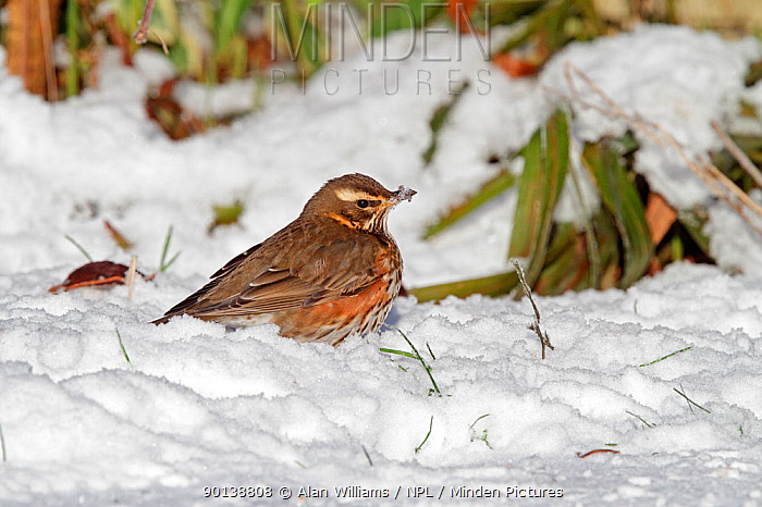 Redwing (Turdus iliacus) foraging in snow covered garden, Cheshire, UK, January  -  Alan Williams/ npl