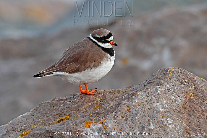 Ringed plover (Charadrius hiaticula) roosting on rocks at high tide, North Wales Coast, UK, December  -  Alan Williams/ npl