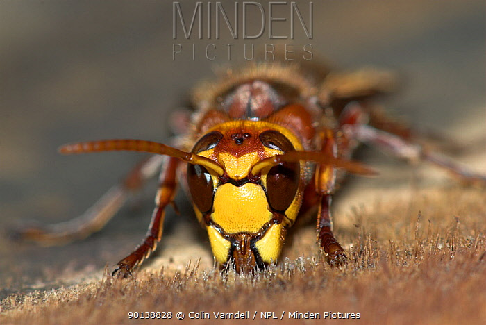 Hornet (Vespa crabo) taking resin from sawn trunk,  -  Colin Varndell/ npl