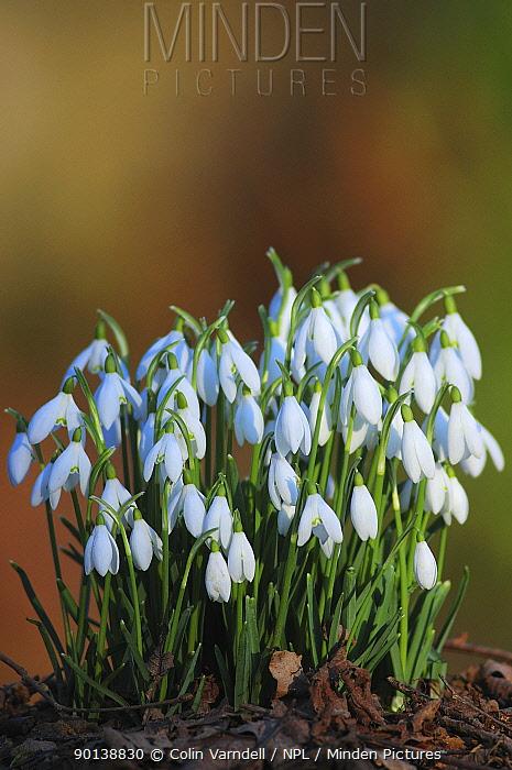 Clump of Snowdrops ( Galanthus nivalis) Dorset, England, UK, February  -  Colin Varndell/ npl