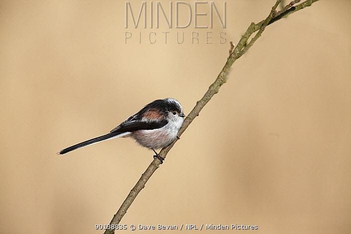 Long tailed tit (Aegithalos caudatus) perching on branch, UK  -  Dave Bevan/ npl