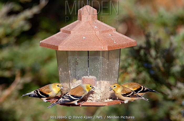 Four American goldfinches (Carduelis tristis) on seed feeder in winter, Kentucky, USA  -  David Kjaer/ npl