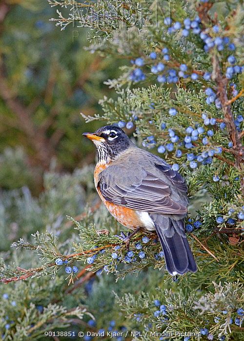 American robin (Turdus migratorius) feeding on Juniper berries, Kentucky USA  -  David Kjaer/ npl