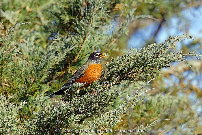 Male American robin (Turdus migratorius) feeding on Juniper berries, Kentucky USA  -  David Kjaer/ npl