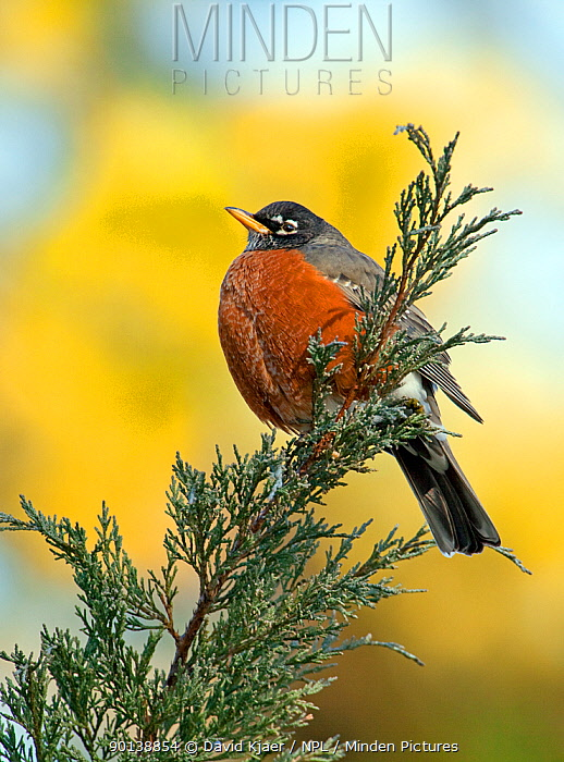 Male American robin (Turdus migratorius) puffed up to keep warm, and perched on Juniper branch, Kentucky, USA  -  David Kjaer/ npl