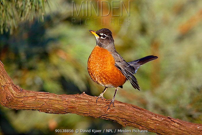 Male American robin (Turdus migratorius) perched on branch, Kentucky USA  -  David Kjaer/ npl