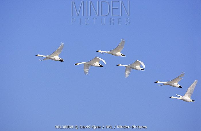 Small flock of Bewick's, Tundra swans (Cygnus columbianus) in flight, Gloucestershire, England  -  David Kjaer/ npl