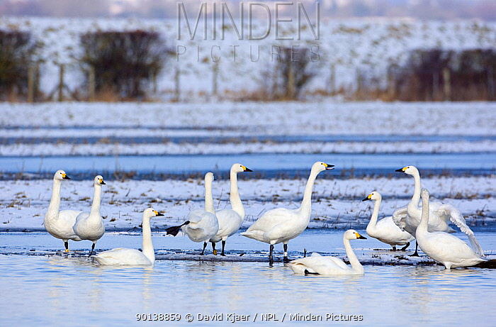Small flock of Bewick's, Tundra swans (Cygnus columbianus) on water, in snow covered landscape, Gloucestershire, England  -  David Kjaer/ npl