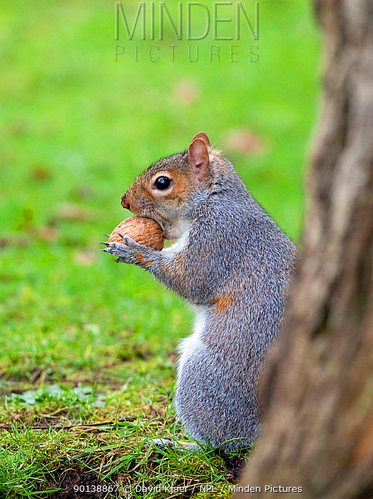 Grey squirrel (Sciurus carolinensis) with walnut Somerset, England  -  David Kjaer/ npl