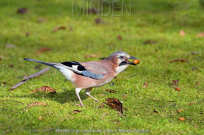 Jay (Garrulus glandarius) collecting acorns in autumn, Somerset, England  -  David Kjaer/ npl