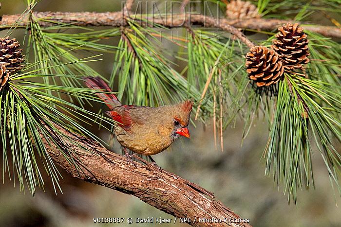 Female Northern cardinal (Cardinalis cardinalis) perched on Pine branch, with pinecones, Kentucky, USA  -  David Kjaer/ npl