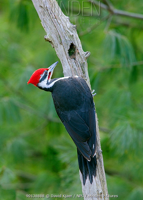 Male Pileated woodpecker (Dryocopus pileatus) on branch, Kentucky, USA  -  David Kjaer/ npl