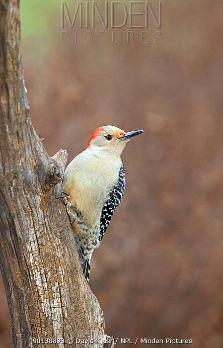 Female Red-bellied woodpecker (Melanerpes carolinus) on tree trunk, Kentucky, USA  -  David Kjaer/ npl