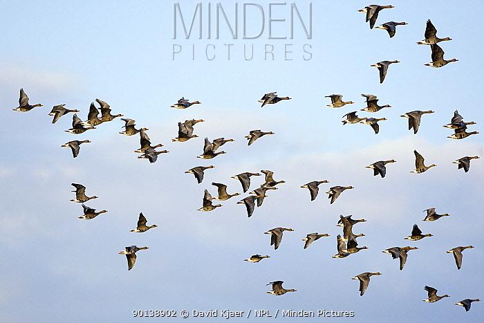Flock of White-fronted geese (Anser albifrons) in flight, Gloucestershire, England  -  David Kjaer/ npl
