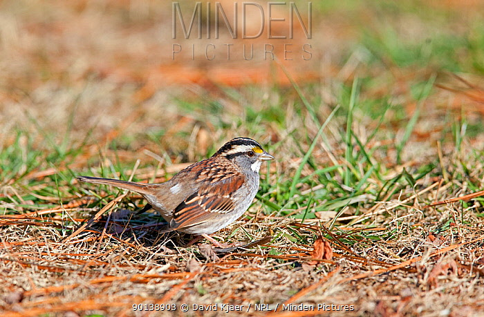 Male White-throated sparrow (Zonotrichia albicollis) on ground, Kentucky, USA  -  David Kjaer/ npl