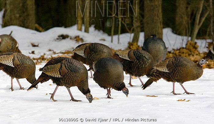 Flock of Wild turkeys (Meleagris gallopavo) foraging in snow covered woodland, winter, Maine, USA  -  David Kjaer/ npl