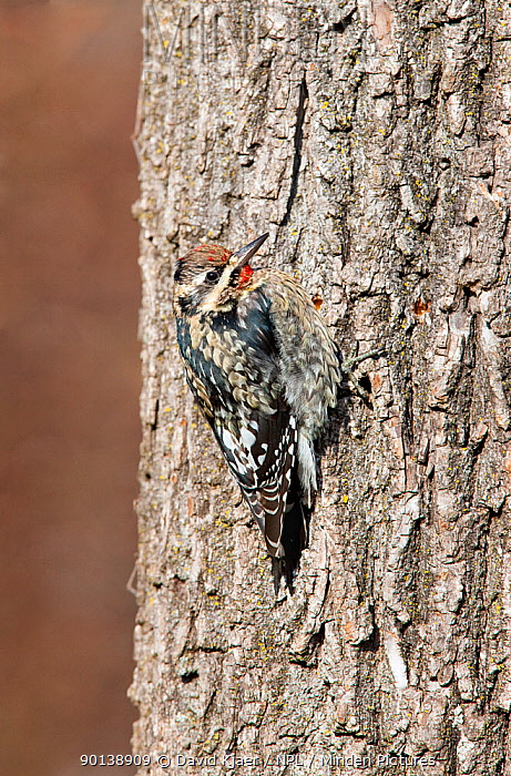 Yellow-bellied sapsucker (Sphyrapicus varius) First winter male, perched on tree trunk, Kentucky, USA  -  David Kjaer/ npl