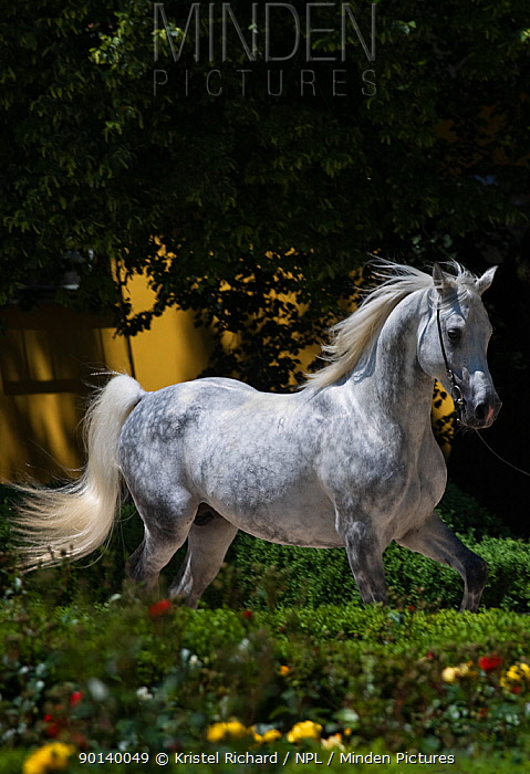 A Shagya Arab stallion (Equus caballlus) is shown in hand in the courtyard of the Babolna Arabian Stud, Babolna, Komarom-Esztergom, Hungary  -  Kristel Richard/ npl