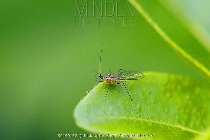 Minden Pictures stock photos - Winged Rose aphid ( Macrosiphum rosae ...