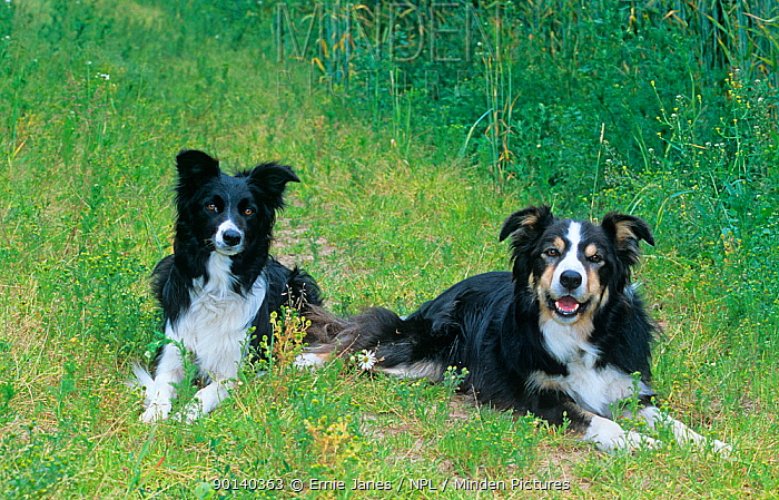 Two Border Collie dogs, resting in field, UK  -  Ernie Janes/ npl