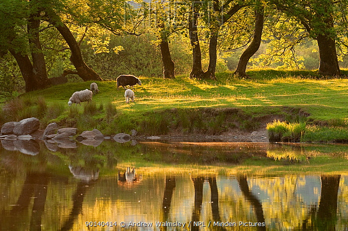 Sheep (Ovis aries) grazing on fields around Elterwater, Lake District NP, Cumbria, England, UK June 2010  -  Andrew Walmsley/ npl