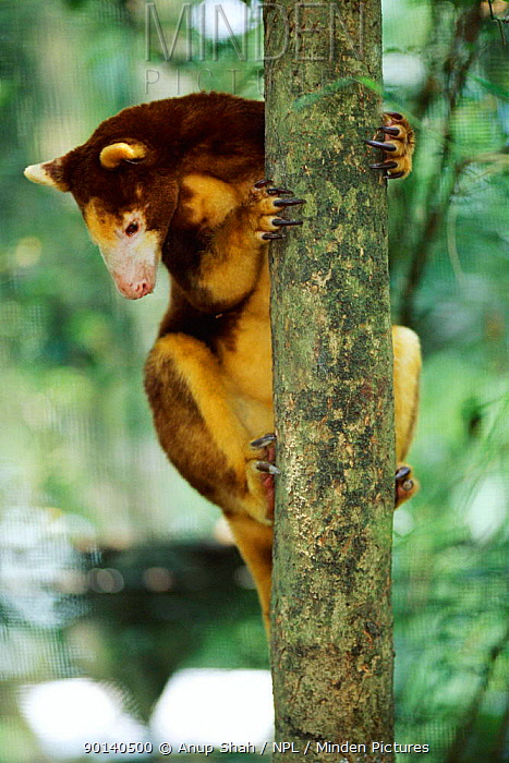 Minden pictures stock photos matchies tree kangaroo matchies tree kangaroo dendrolagus matchiei native to papua new guinea endangered species sciox Images