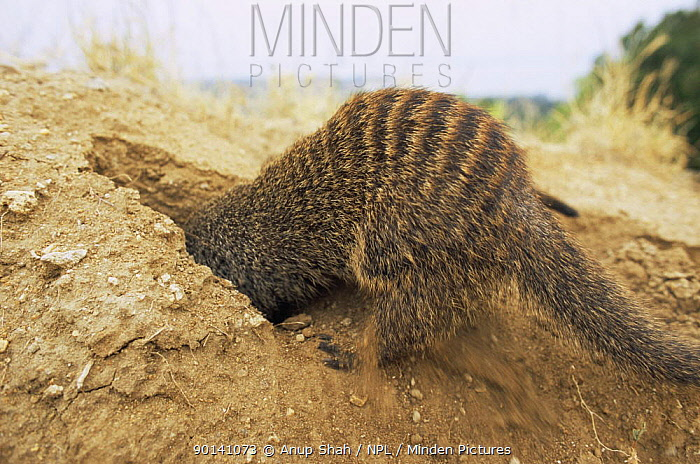 Banded mongoose (Mungos mungo) digging for food, foraging, Queen Elizabeth NP, Uganda  -  Anup Shah/ npl