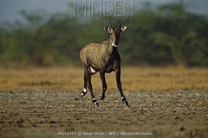 Male Nilgai running (Boselaphus tragocamelus) Rann of Kutch, Gujarat, India  -  Anup Shah/ npl