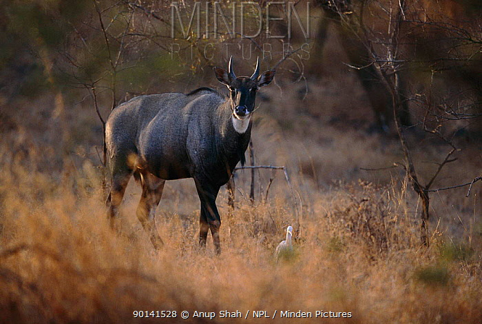 Nilgai (Boselaphus tragocamelus) and Egret, Gir NP, Gujarat, India  -  Anup Shah/ npl