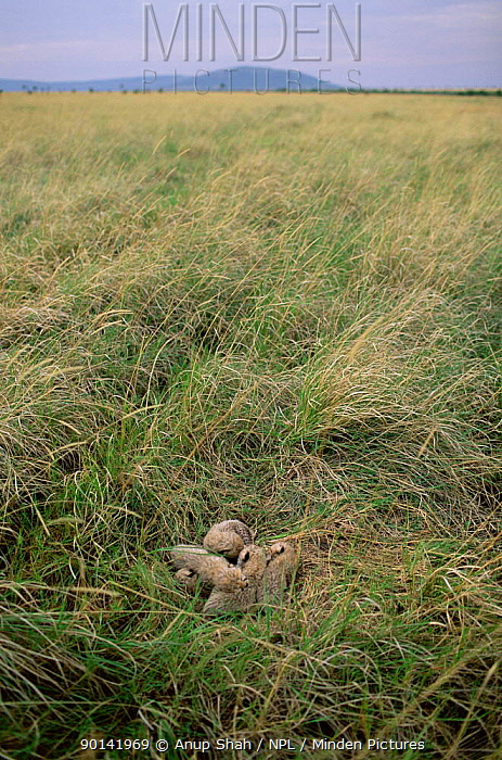 Two-week-old Cheetah cubs resting in lair in long grass (Acinonyx jubatus) Masai Mara  -  Anup Shah/ npl