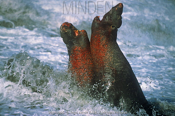 Two Northern elephant seal (Mirounga angustirostris) males fighting for dominance, California, USA  -  Ingo Arndt/ npl