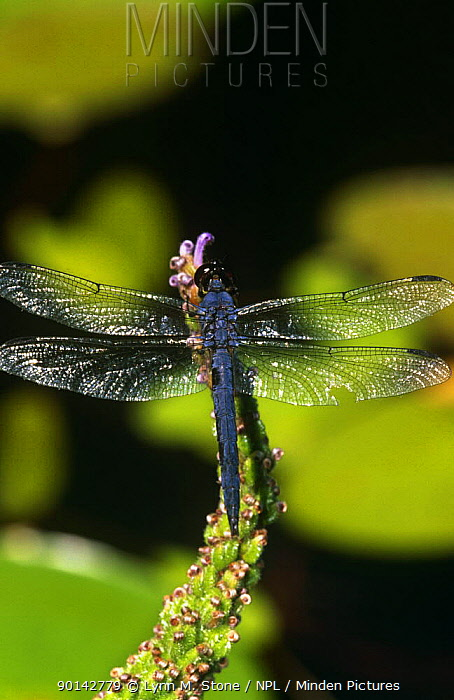Dragonfly (Libellula sp) at rest with wings open, Connecticut, USA  -  Lynn M. Stone/ npl