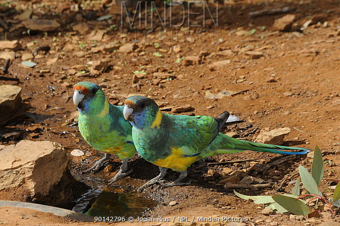 Australian, Port Lincoln ringneck parrots (Platycercus zonarius) at water hole, Flinders Ranges National Park, South Australia, Australia  -  Jouan & Rius/ npl