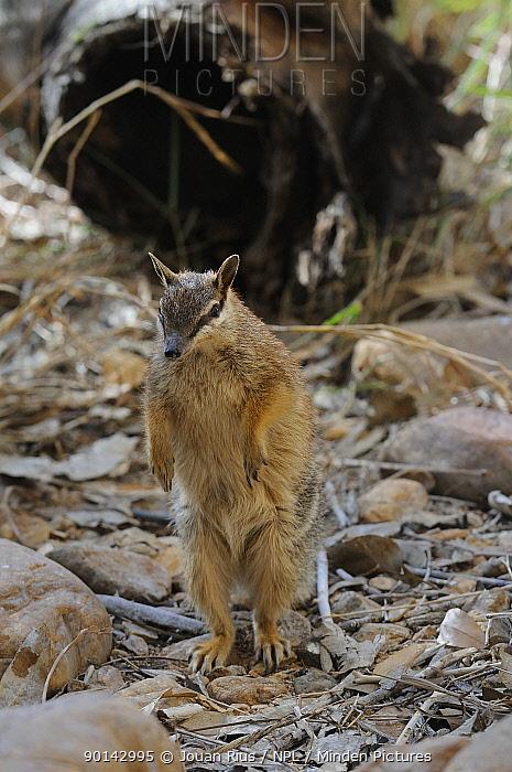 Numbat (Myrmecobius fasciatus) standing on hind legs, Central Australia  -  Jouan & Rius/ npl