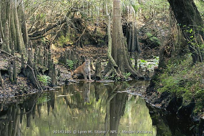 Puma (Felix concolor) in Bald cypress swamp, Florida, USA, captive  -  Lynn M. Stone/ npl