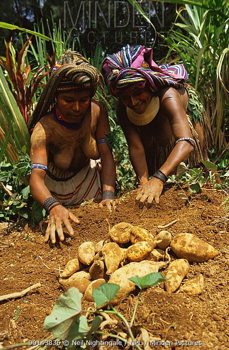 Huli women harvesting sweet potatoes Irian Jaya, West Papua, Papua New Guinea 1991 (West Papua)  -  Neil Nightingale/ npl
