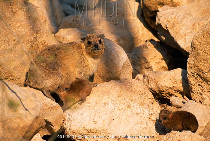 Rock hyrax (Procavia capensis) female with young amongst rocks, Israel  -  Niall Benvie/ npl