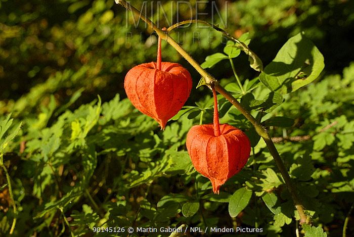 Chinese Lantern, Bladder-cherry (Physalis alkekengi) seedpods, Bavaria, Germany  -  Martin Gabriel/ npl