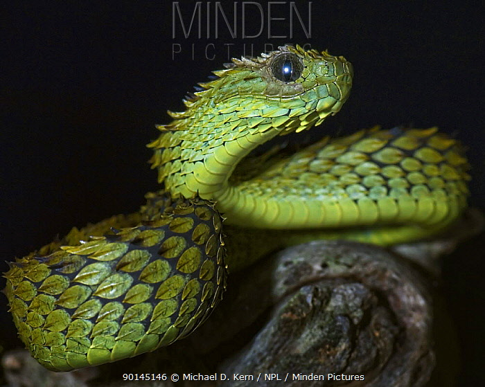 minden pictures stock photos hairy bush viper snake