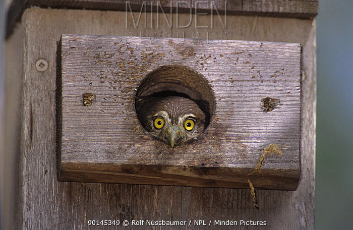 Juvenile Ferruginous Pygmy-Owl (Glaucidium brasilianum) in nest box, Willacy County, Rio Grande Valley, Texas, USA June 2004  -  Rolf Nussbaumer/ npl