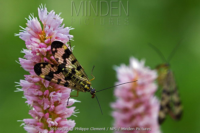Scorpionfly (Panorpa sp) on Meadow, Common bistort (Polygonum bistorta) Gran Paradiso NP, Alps, Italy  -  Philippe Clement/ npl