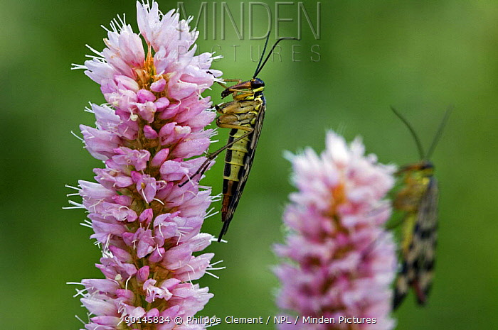 Scorpionflies (Panorpa sp) on Meadow, Common bistort (Polygonum bistorta) Gran Paradiso NP, Alps, Italy  -  Philippe Clement/ npl