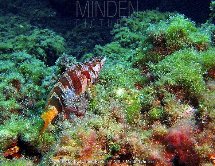 Painted comber (Serranus scriba), Mediterranean  -  Jose B. Ruiz/ npl