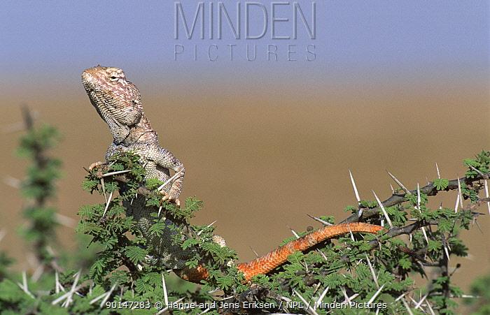 Yellow spotted agama lizard (Trapelus flavimaculatus), Jiddat Al Harasis, Oman  -  Hanne & Jens Eriksen/ npl