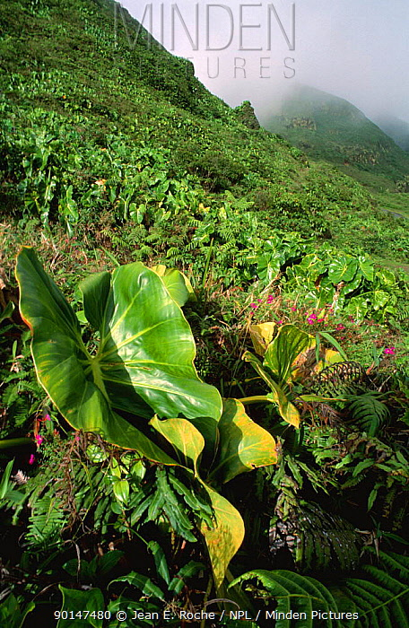 (Philodendron giganteum) growing on hillside Soufriere, Guadeloupe 2000  -  Jean E. Roche/ npl