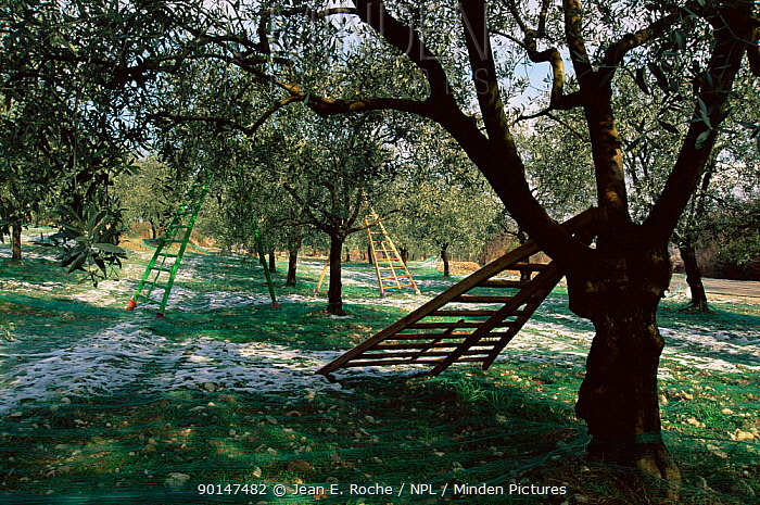 Ladders and nets used for Olive harvest, Baronnies, Provence, France  -  Jean E. Roche/ npl
