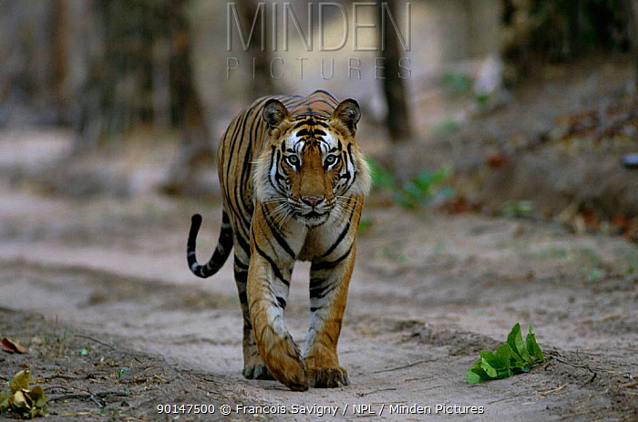Tiger male walking along track Bandhavgarh NP, Madhya Pradesh, India  -  Francois Savigny/ npl