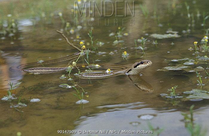 Four lined snake swimming (Elaphe quatuorlineata) Bulgaria  -  Dietmar Nill/ npl