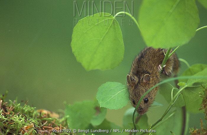 Northern birch mouse (Sicista betulina) Sweden  -  Bengt Lundberg/ npl